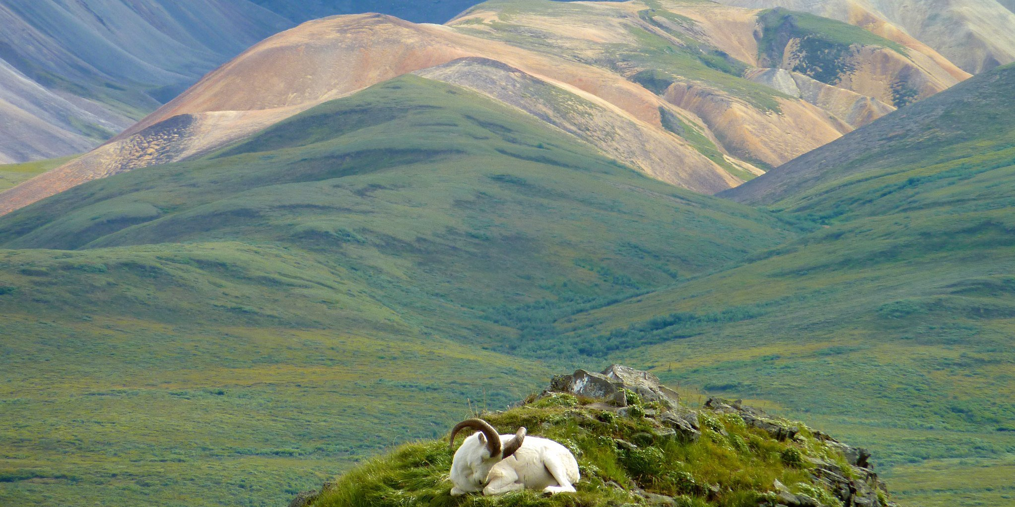 Dall Sheep and Magestic Denali